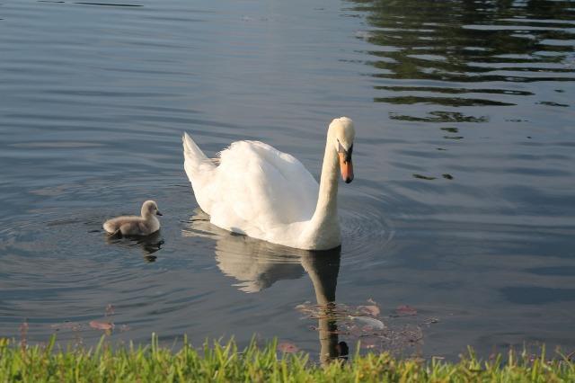swan-737632_1920